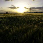 麦の穂を揺らす風