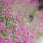 阿蘇野の花